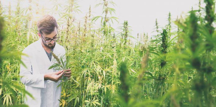 Market High on Aurora Cannabis as Peltz Joins Pot Grower
