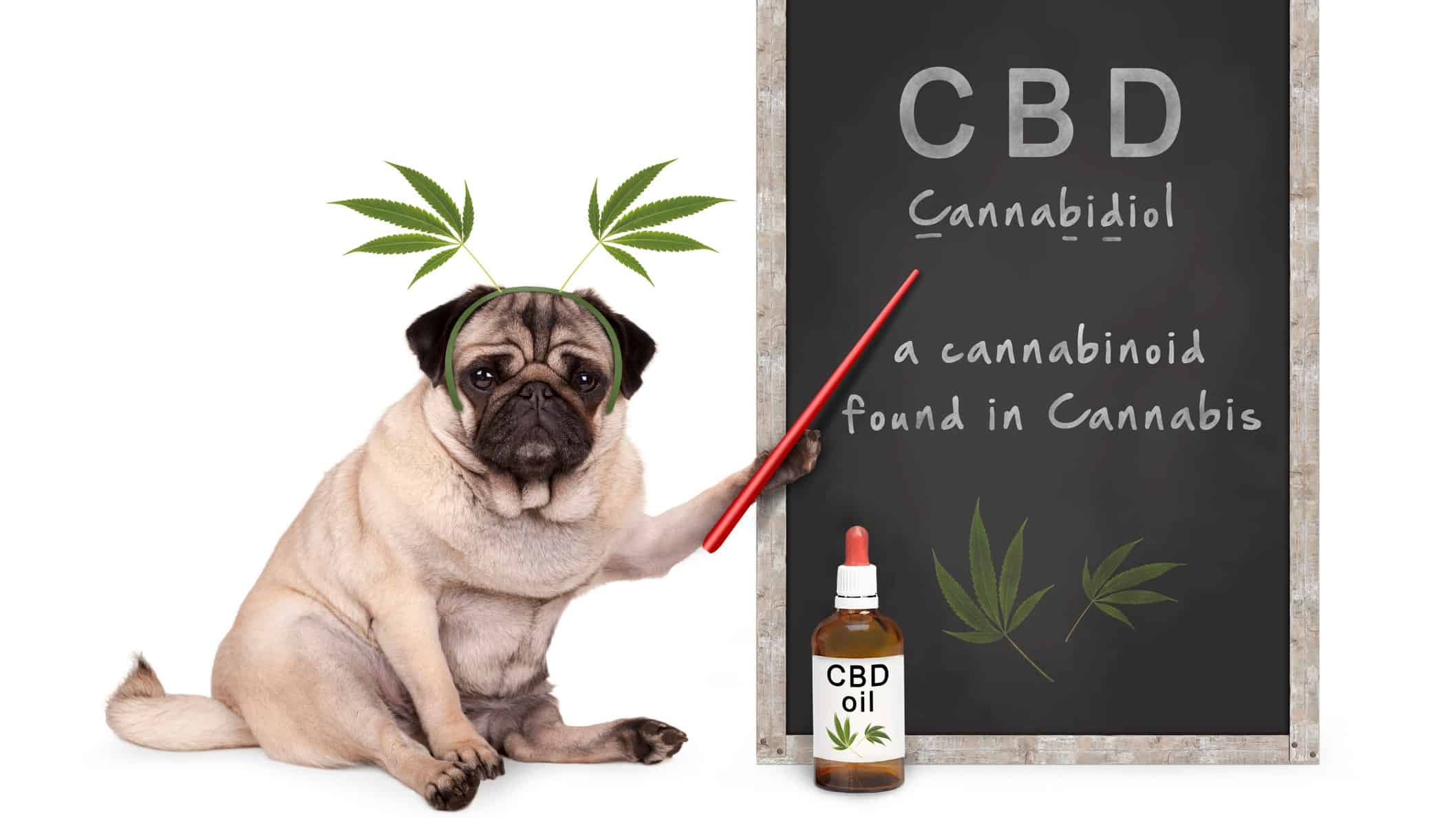 asx cannabis shares represented by pug dog pointing to blackboard with cannabis info on it