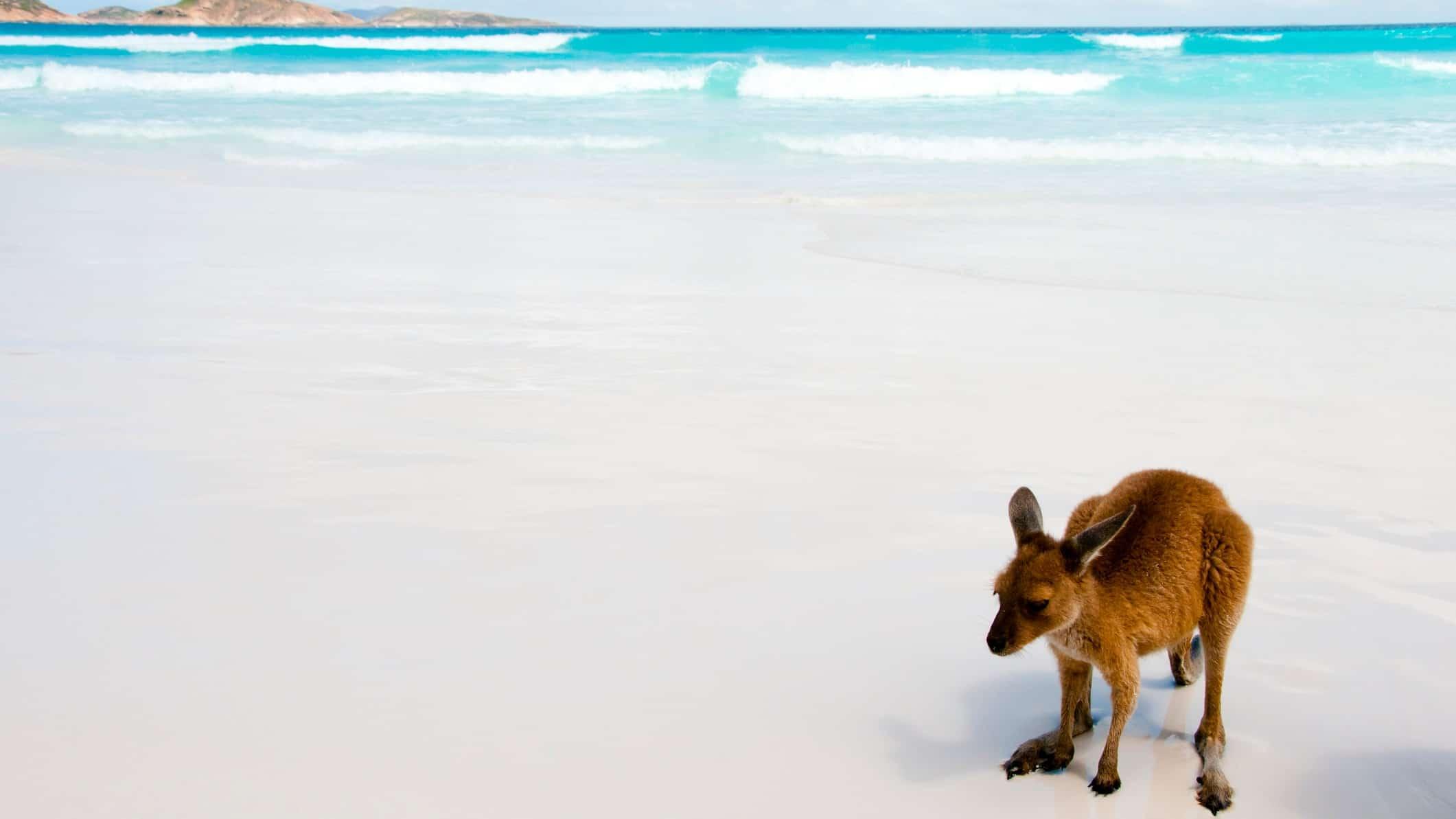 kangaroo standing on white sandy beach