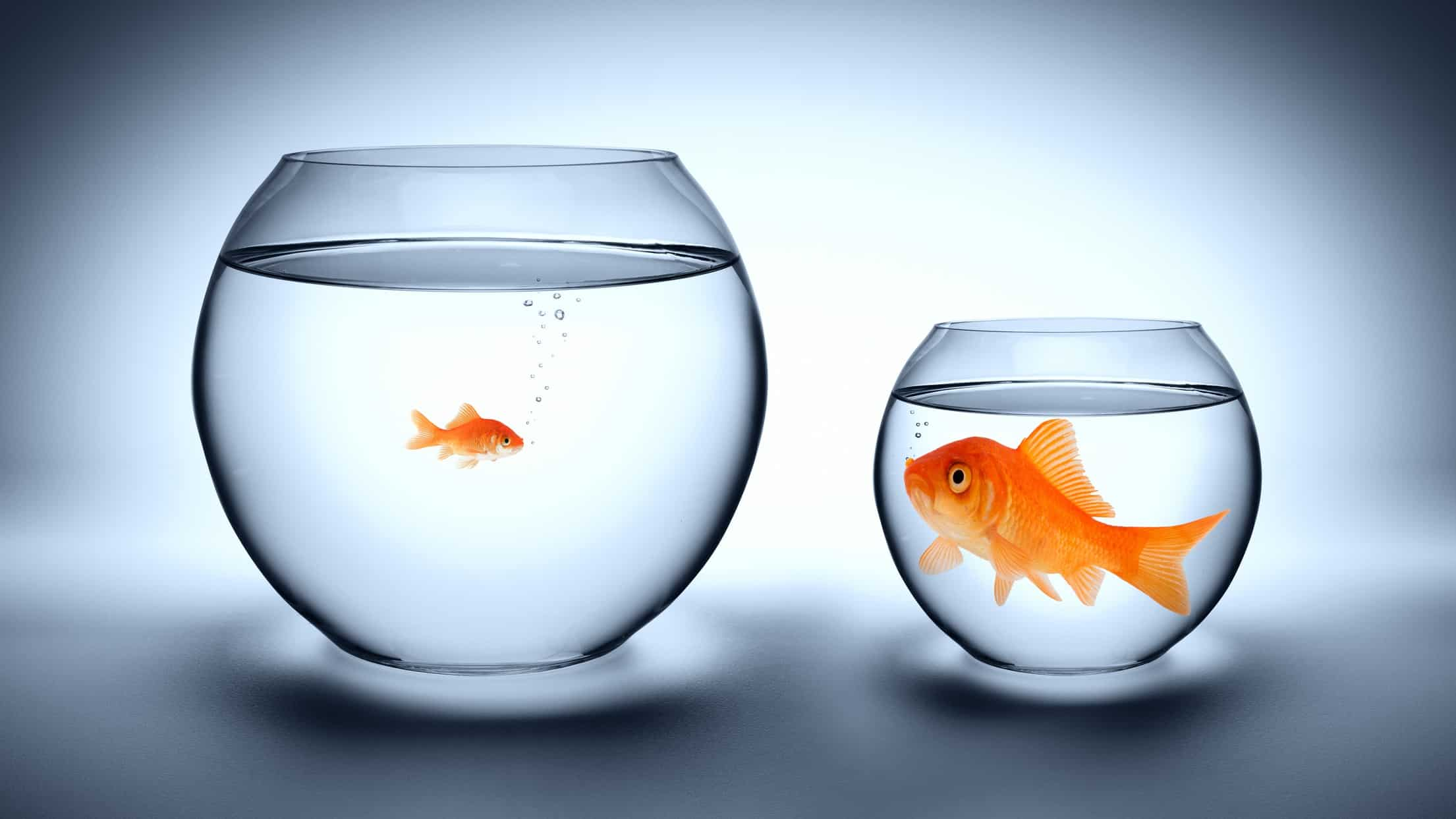 a small fish in a big bowl eyeballs a big fish in a small bowl, indicating the biggest companies are npt always the best investments