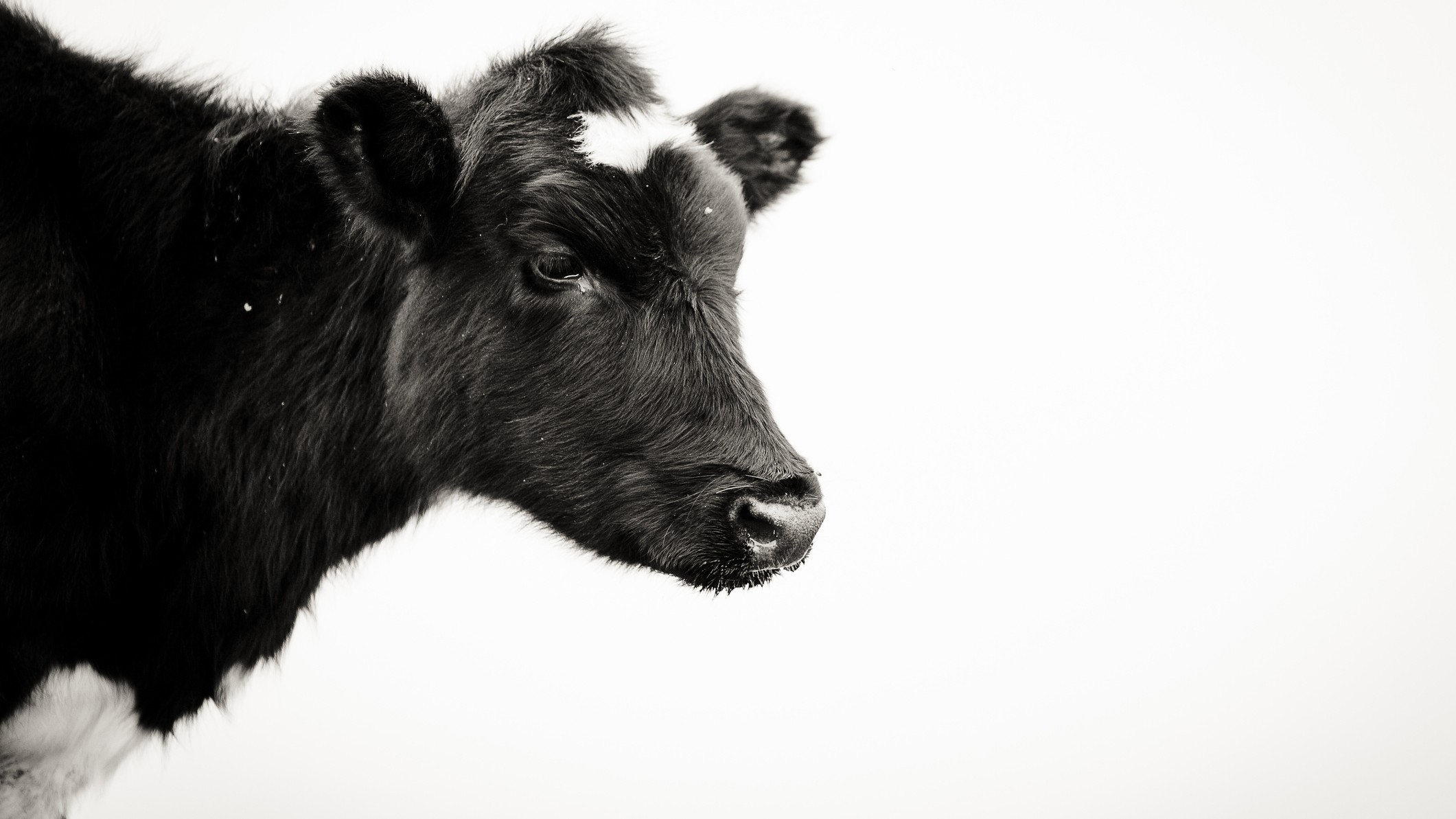 flat dairy asx share price represented by sad looking black cow