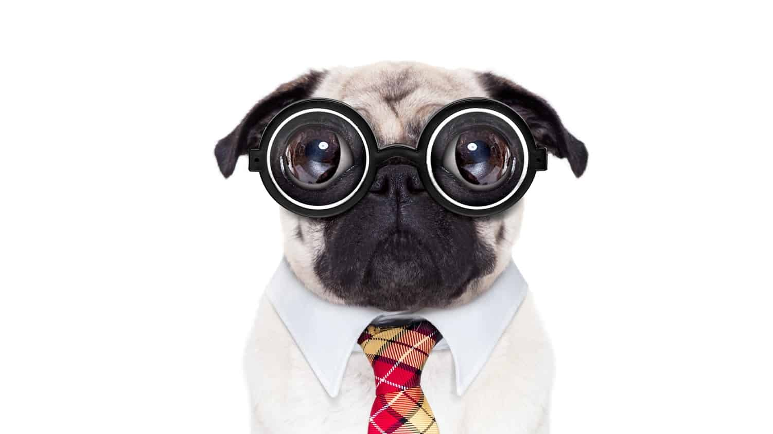 pug dog going to work with nerd glasses and big ugly eyes, isolated on white background