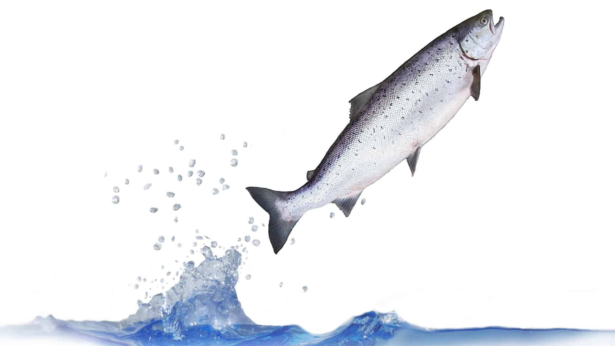 asx share price jump represented by salmon jumping out of water