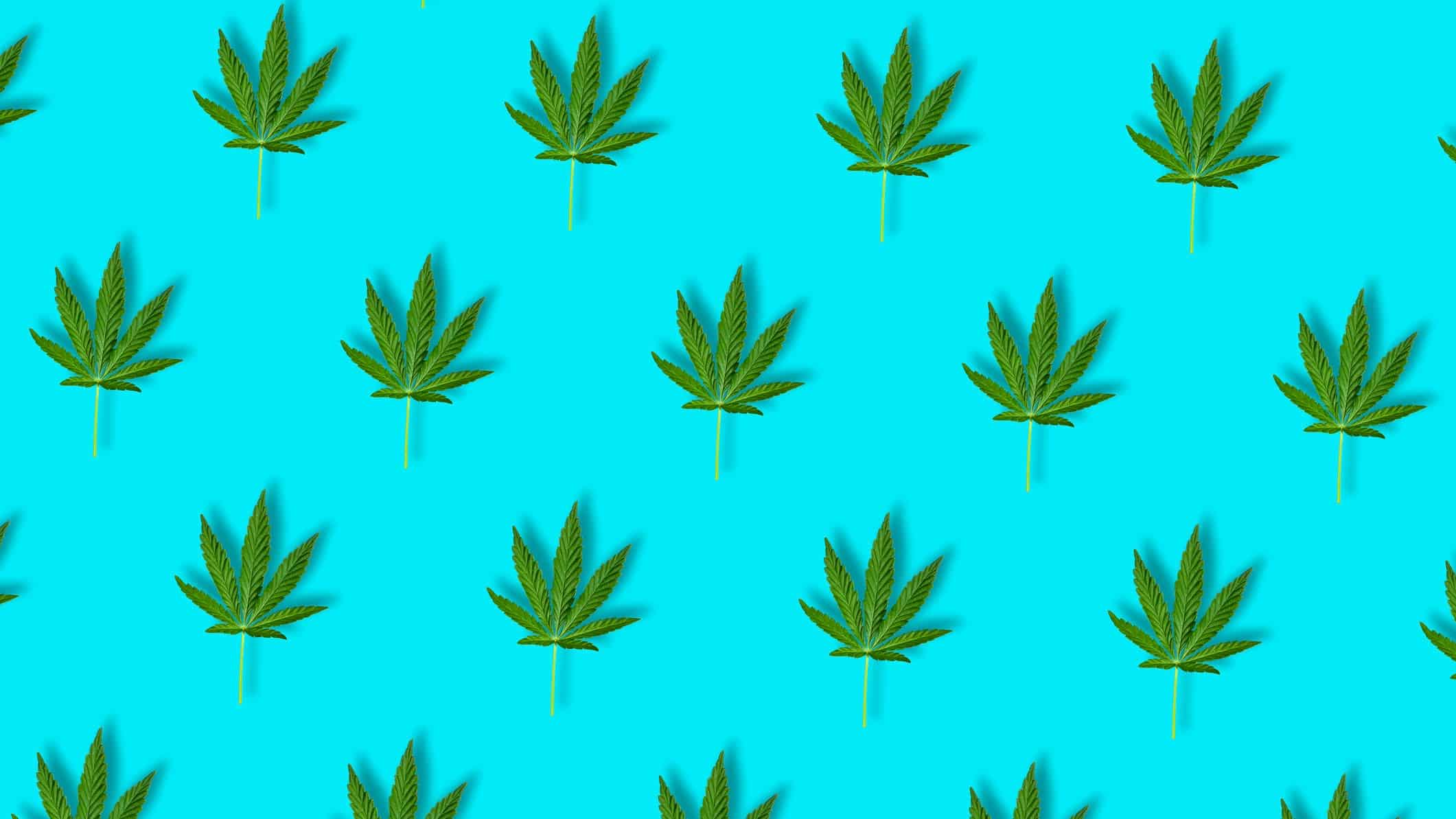 cannabis asx share price represented by lots of cannabis leaves against bright blue background