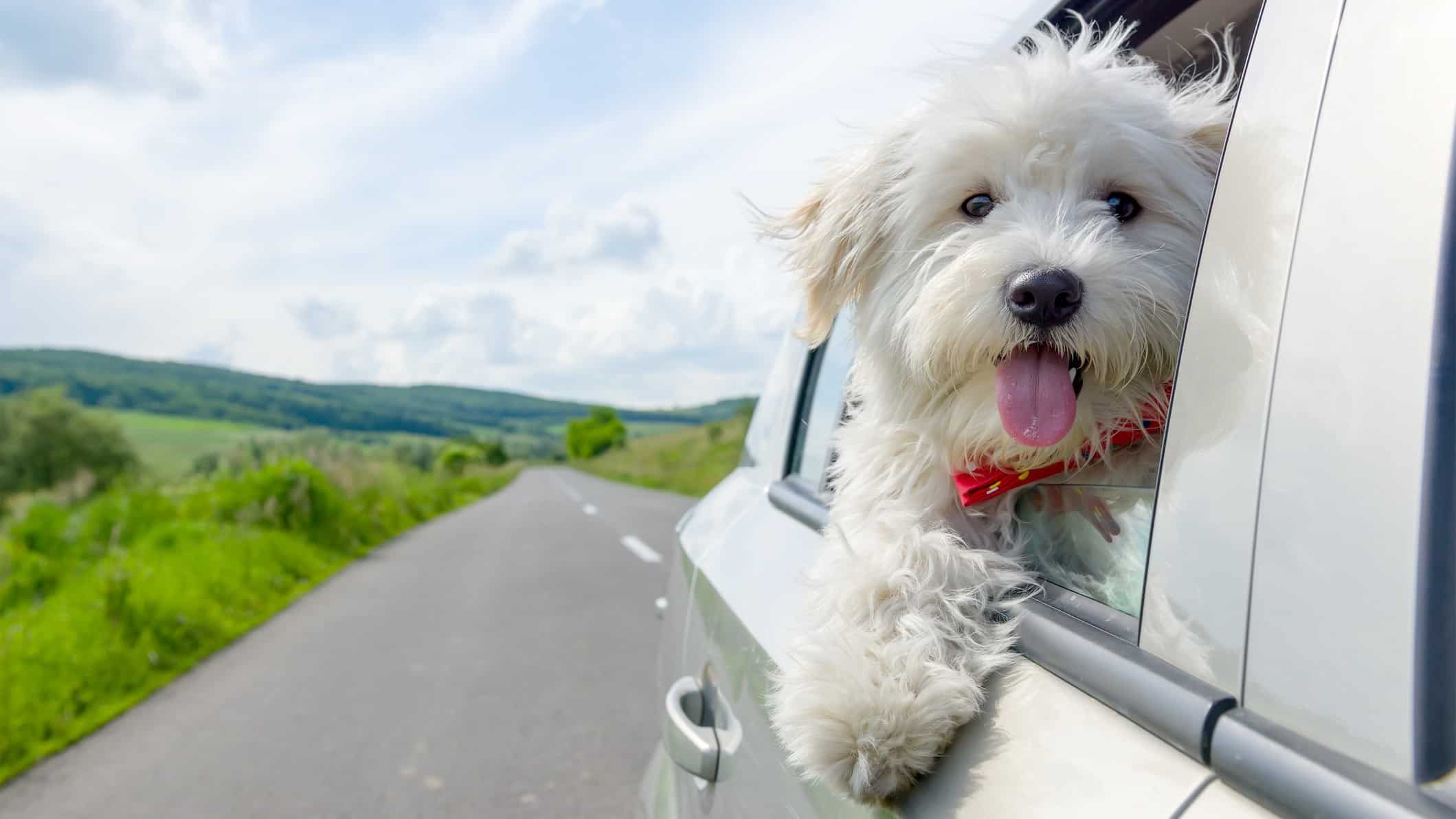 a happy dog puts its head out of a car window with a road in the background, indicating a positive share price for ASX automotive shares