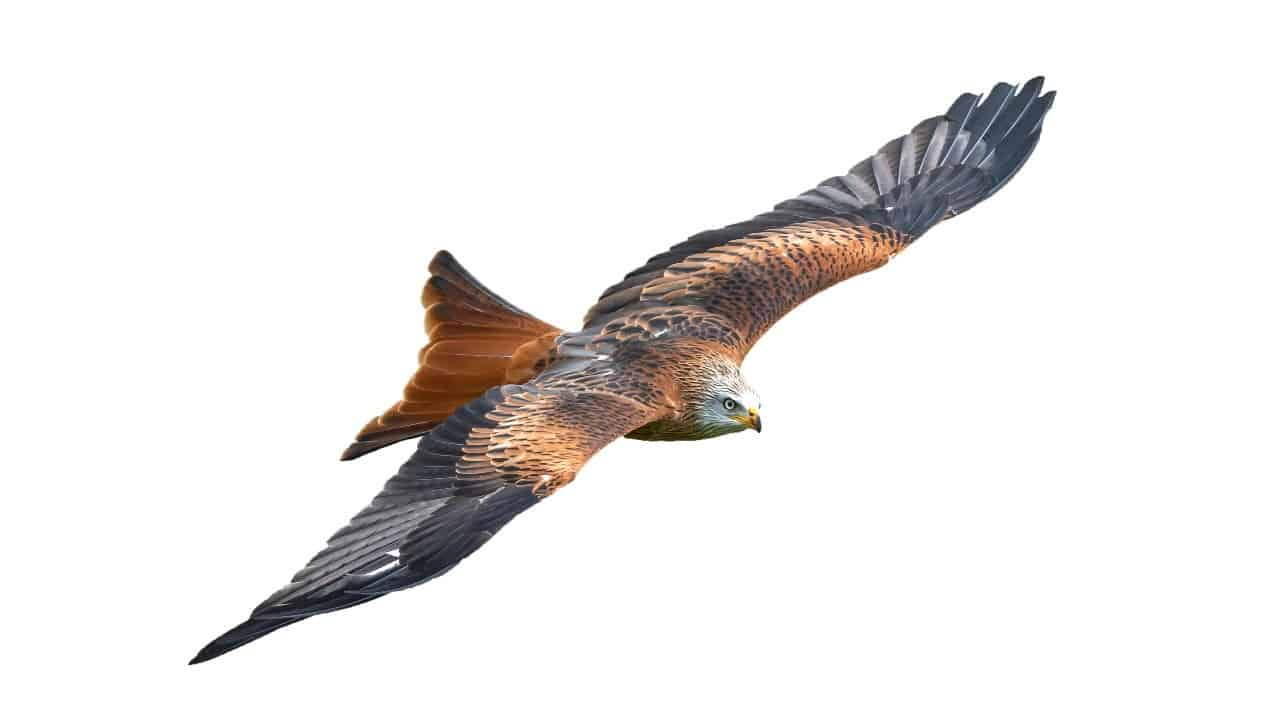 flying asx share price represented by hawk soaring through the air