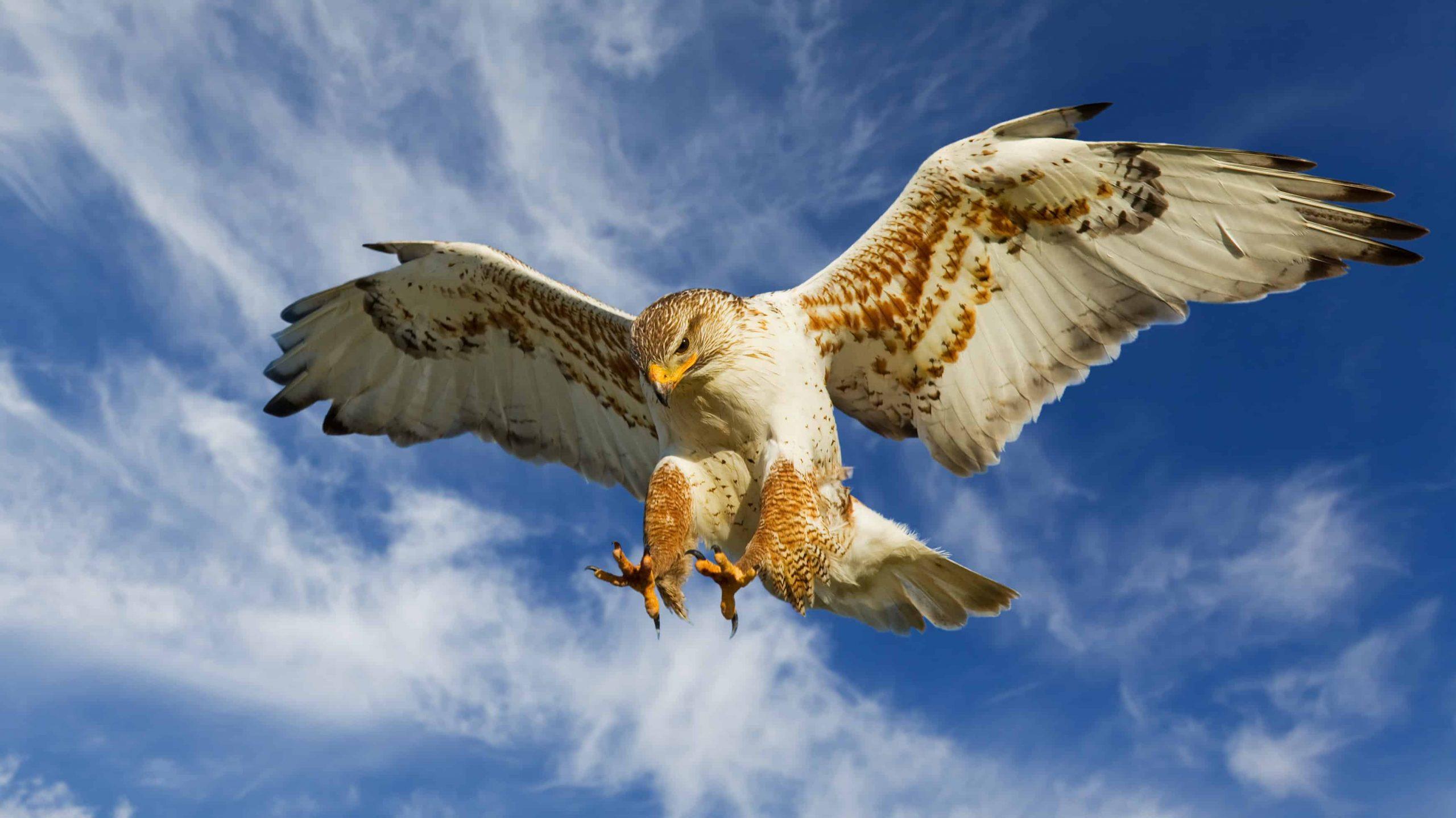 hawk, watch