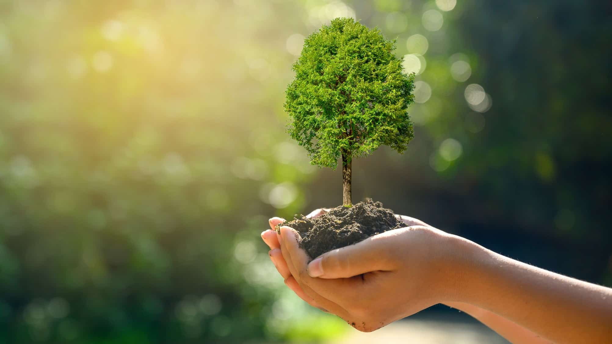 Nurturing hands carefully cup a tree, indicating a share price in an ASX forestry company